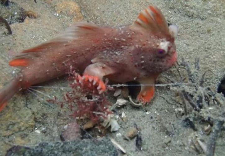 El hallazgo de la especie confirma a los especialistas que aún hay más vida marina que descubrir en el planeta. (Foto: UNAM Global).