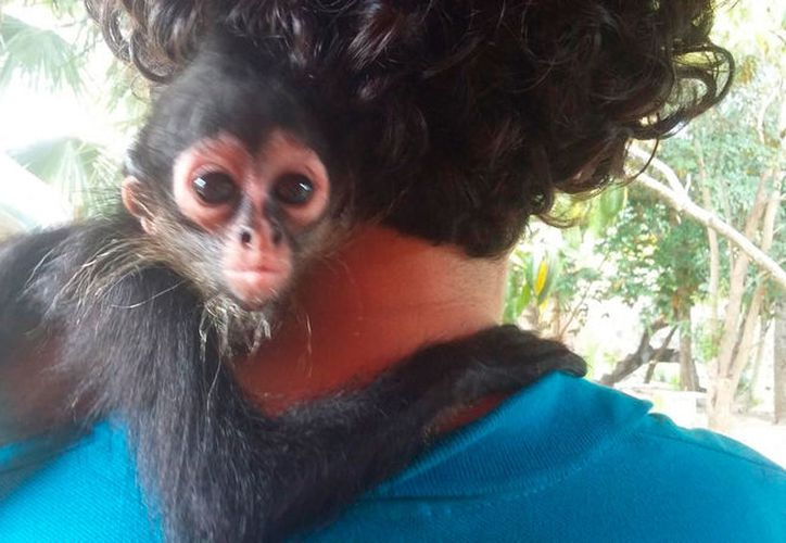 Durante sus primeros meses, las crías de mono araña viven aferradas a sus madres. (Joel Zamora/SIPSE)