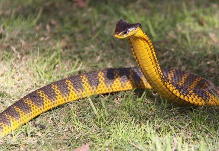 """""""Después de que tomé esta foto la serpiente trató de lanzarse contra mí, y luego se retiró en otra dirección"""". (Foto: Contexto/Internet)"""