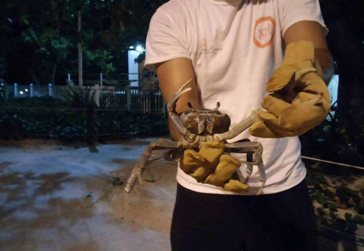 La migración de los cangrejos azules es anualmente  y son capaces de depositar, cada uno, la suma de tres mil huevecillos. (Tomás Álvarez/SIPSE)