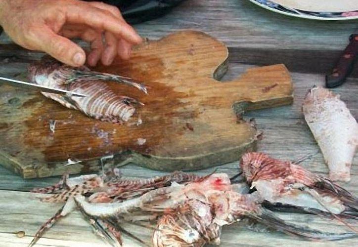 La carne del pez león se puede vender entre 40 y 130 pesos el kilogramo. (Redacción/SIPSE)