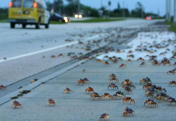 Más de mil voluntarios participaron en el cruce del cangrejo azul.  (Redacción/SIPSE)