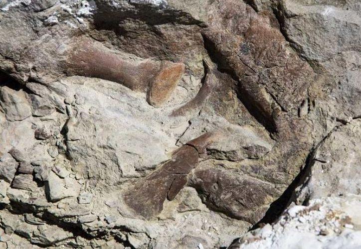 Se estima que el tiranosaurio tiene de 12 a 15 años de edad, y mide de 5 a 7 metros de largo. (Foto: Excélsior)