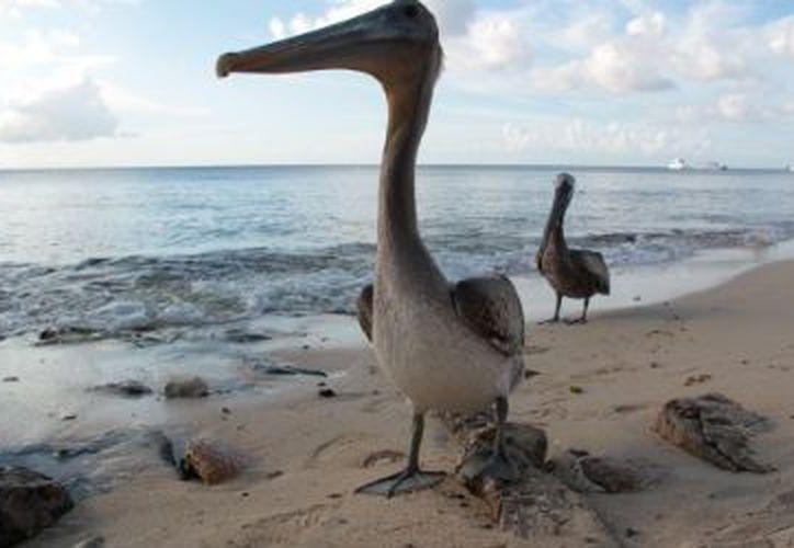 Los pelicanos cafés y blancos que visitan la isla de Cozumel, principalmente en los meses de invierno en el norte del continente, viajan miles de kilómetros buscando refugio. (Gustavo Villegas/SIPSE)