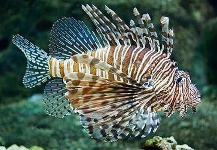 El pez león, especie invasora fue el ingrediente principal del concurso gastronómico en Cancún. (Contexto/Internet)