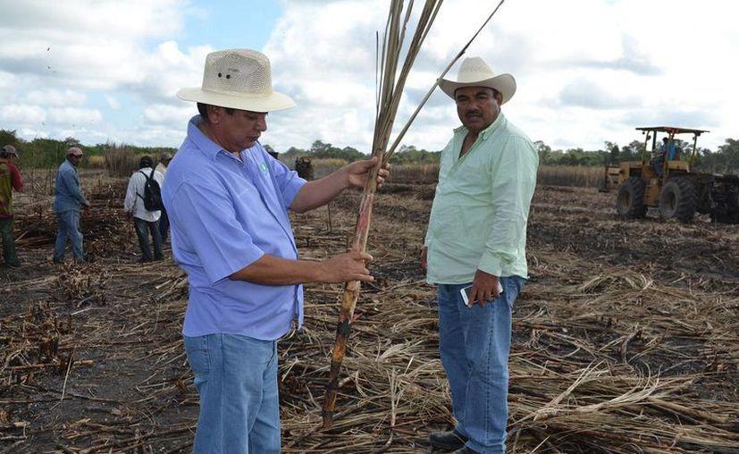 Los productores cañeros esperaban mantener un nivel de azúcar entre 100 y 105 kilos, pero lamentablemente se encuentra muy por debajo de lo esperado. (Edgardo Rodríguez/SIPSE)