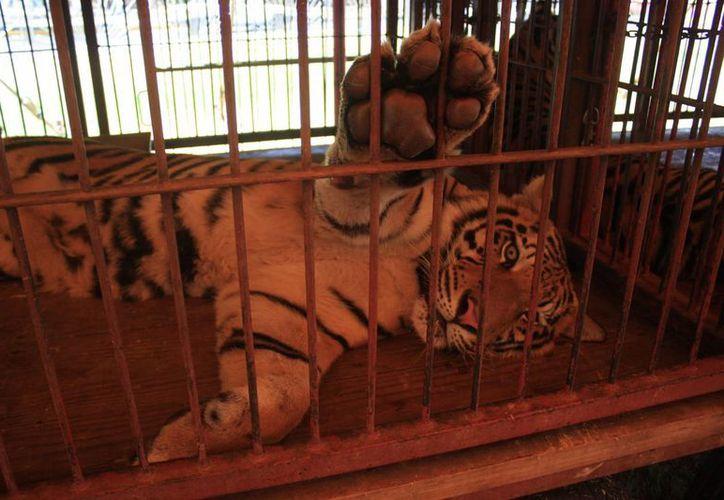 El animal tiene un valor de aproximadamente 40 mil pesos. (Harold Alcocer/SIPSE)