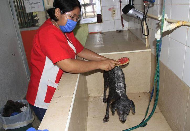 Las duchas sirven para proteger la piel de los canes, además que previenen diversas enfermedades y hongos. (Tomás Álvarez/SIPSE)