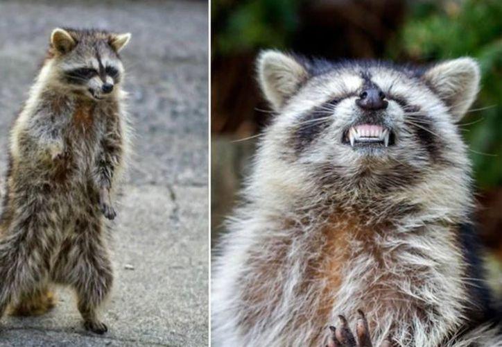 En estos últimos días recibieron tres llamadas de vecinos que se encontraron con mapaches zombies en la calle. (Especial)