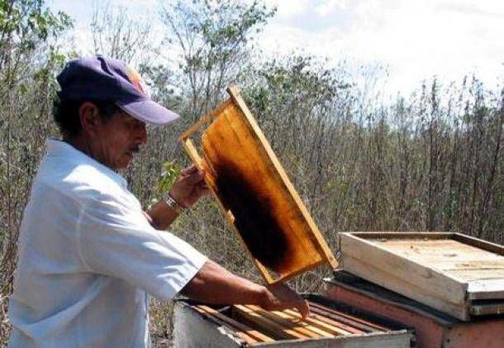 Apicultores buscan fortalecer las actividades para mejorar la producción. (Raúl Balam/SIPSE)