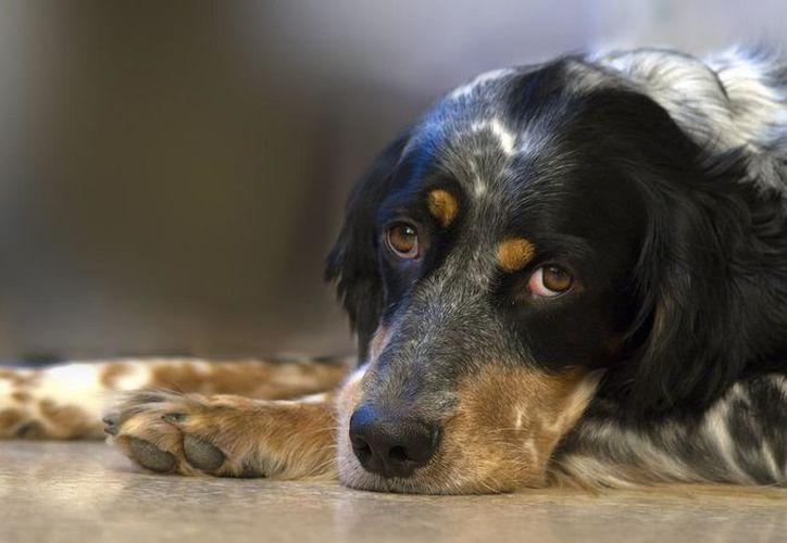 la gripe canina puede provocar neumonía o incluso, la muerte del animal. (Foto: Contexto/Internet)