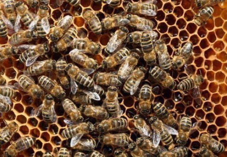 Enjambre de abejas ataca a un hombre en Cozumel. (Contexto/Internet).