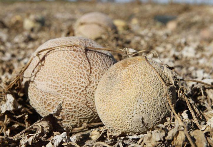 Melones pudriéndose por el calor de la tarde en un campo de las granjas Jensen Farms, en Colorado. (Agencias)