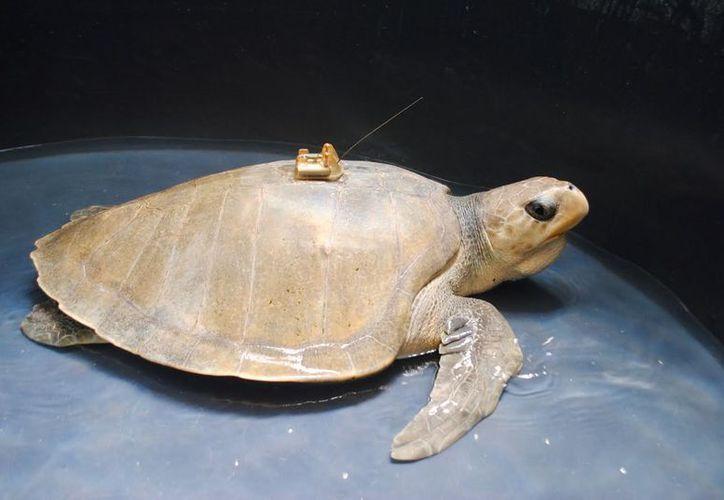 El proyecto prevé el uso de la telemetría satelital para el rastreo de las especies cary, blanca, caguama y lora. (Foto: Redacción)