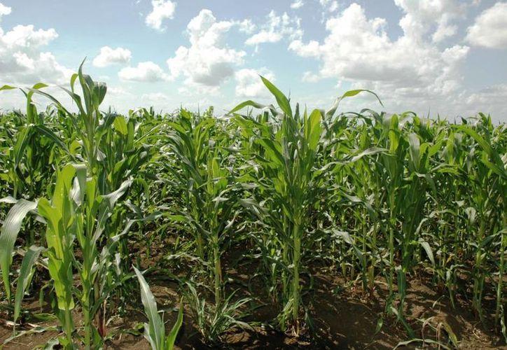 Las expectativas de producción del maíz en México, son de aproximadamente dos millones y medio de toneladas. (Edgardo Rodríguez/SIPSE)