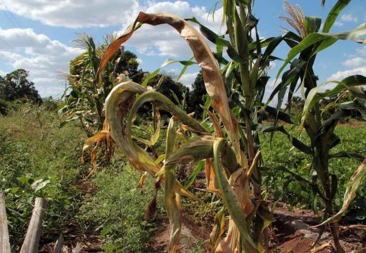 Las altas temperaturas han generado que las plantas se mueran. (Redacción/SIPSE)