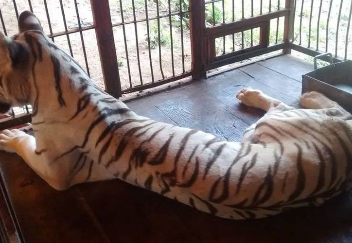 Imagen de uno de los felinos rescatados por Profepa en un circo abandonado en Xmatkuil. El animal presenta un severo estado de debilidad e inanición. (Milenio Novedades)