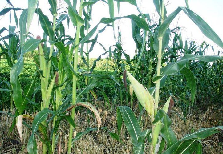 Los cultivos de maíz se vieron afectados por las lluvias del mes pasado, por lo que la producción se vio reducida en esta temporada. (Edgardo Rodríguez/SIPSE)