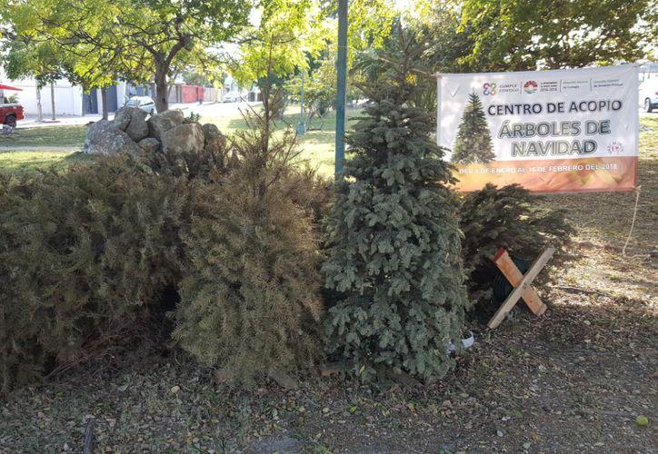 Las autoridades recomiendan llevar ahí el arbolito para contribuir con la ecología y el medio ambiente del destino. (Foto: Jesús Tijerina/SIPSE).