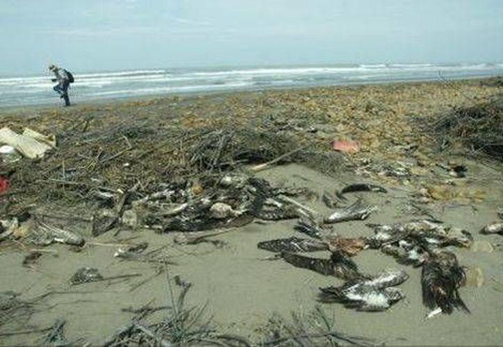 Los cuerpos de las aves serán incinerados, debido a que poseen parásitos como garrapatas, piojos y lombrices que pueden afectar a la población. (Agencias)