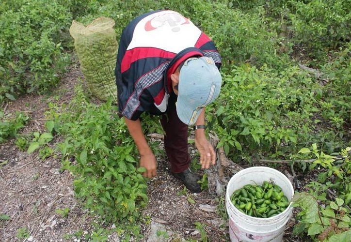 Agricultores no recuperan lo que invierten en su cultivo. (Edgardo Rodríguez/SIPSE)