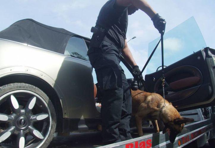 Un agente canino inspecciona el interior del Mini Cooper en busca de  droga. (Milenio Novedades)