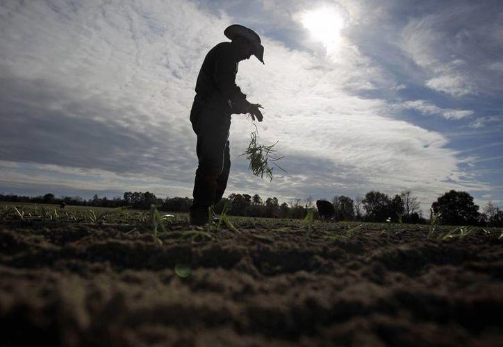 Foto del 10 de diciembre de 2010 que muestra a un jornalero deshojando una planta de cebolla antes de plantar sus raíces en un cultivo en Lyons, Georgia. (Agencias)