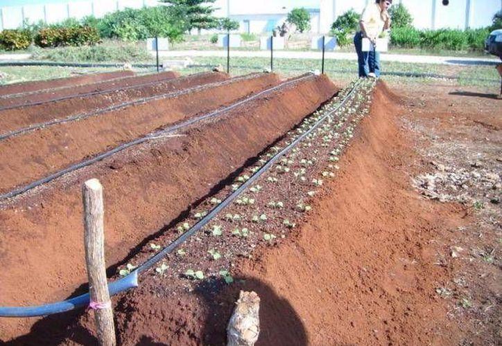 En los huertos familiares se producen lechuga, jamaica, tostadas, chiles, entre otros. (Archivo Sipse)