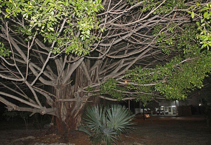 """El """"Árbol de la Fraternidad"""" fue plantado en 1989 como sinónimo de hermandad de los habitantes de Cancún. (Jesús Tijerina/SIPSE)"""