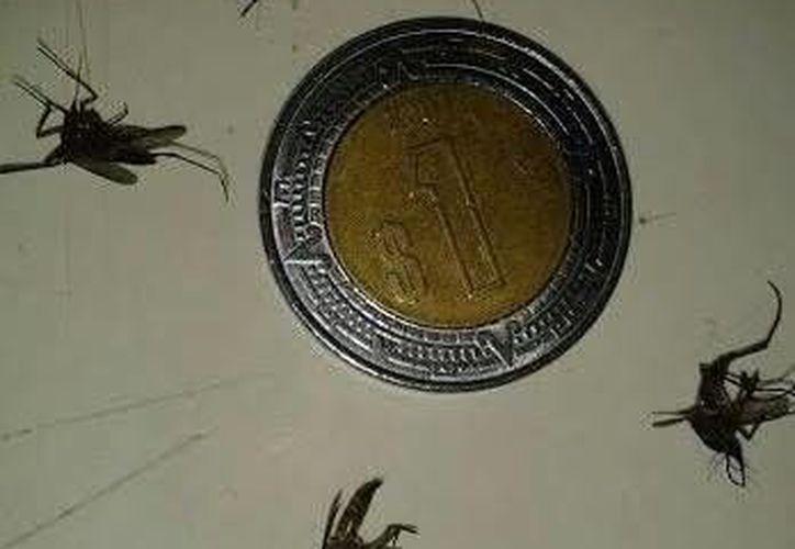 Los moscos que han detectado vecinos de Progreso son casi del tamaño de una moneda de un peso. (SIPSE)