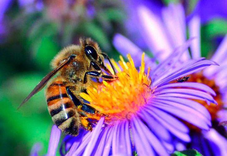 Las abejas son las encargadas de las polinización (fecundación) que permite que algunas plantas den frutos para consumo humano. Según un experto, la población de abejas es cada vez menor, lo que pone en riesgo la alimentación del hombre. (Archivo/sinembargo.mx)