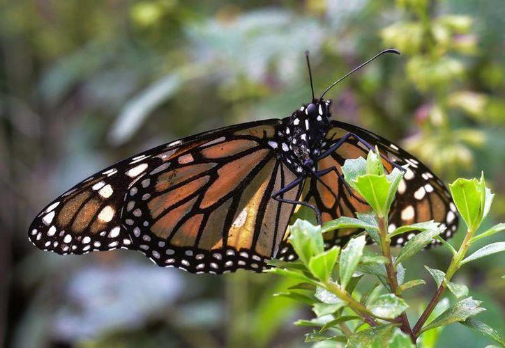 El mal tiempo causó la muerte de aproximadamente cinco por ciento de la población de mariposa monarca en Michoacán. (Archivo/Notimex)