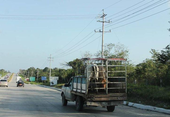 Prevén capacitar a elementos de seguridad para conocer permisos de transportación de ganado y así reconocer si son oficiales o apócrifos. (Edgardo Rodríguez/SIPSE)