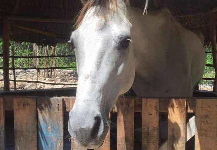 El caballo no cuenta con herraduras en los cascos. (Twitter/Tierra de Animales)
