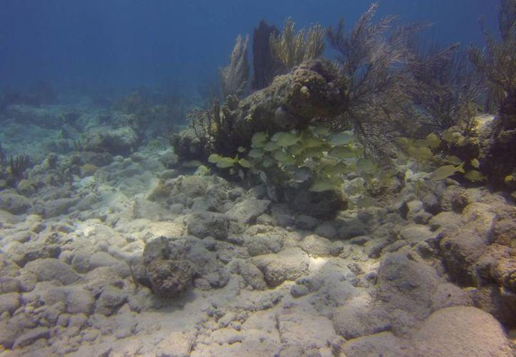La temperatura alta ocasiona que las algas que recubren los corales se desprendan y comience a tomar una tonalidad blanca. (Jesús Tijerina/SIPSE)