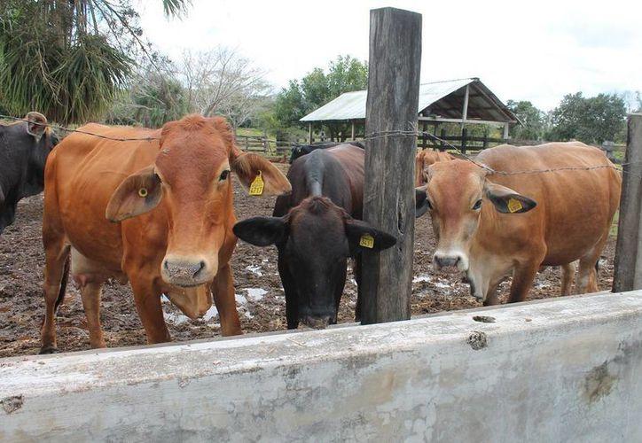Los ganaderos tienen a su disposición diversos seguros para sus animales. (Edgardo Rodríguiez/SIPSE)