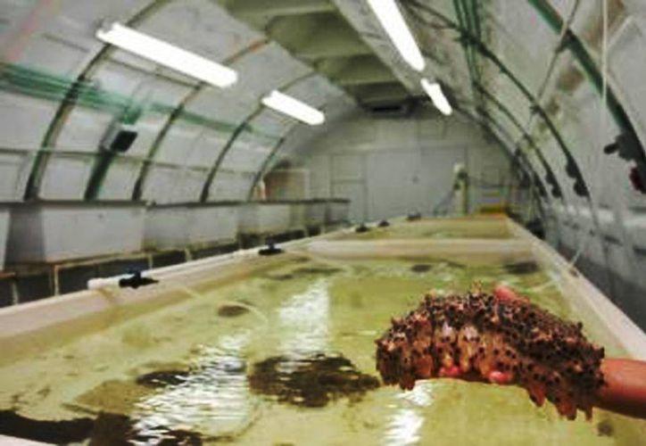 El proyecto del Cinvestav, de reproducción en cautiverio del pepino de mar, sería una alternativa para desalentar la pesca furtiva. (Archivo SIPSE)