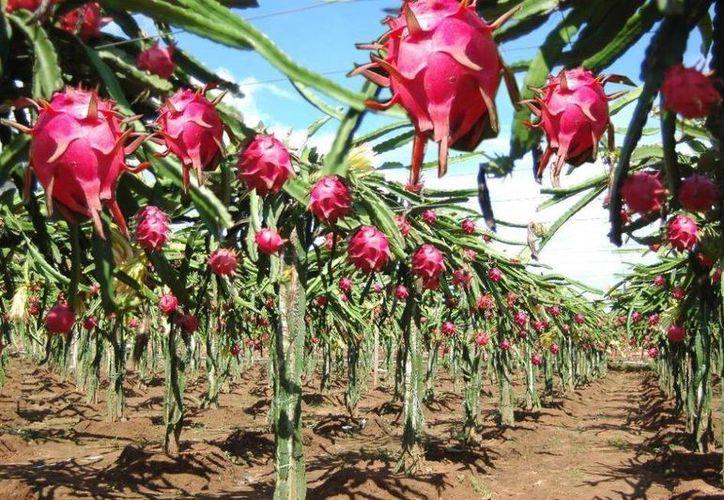La producción orgánica de la pitahaya propicia el ahorro de insumos para los campesinos. (Contexto/Internet)
