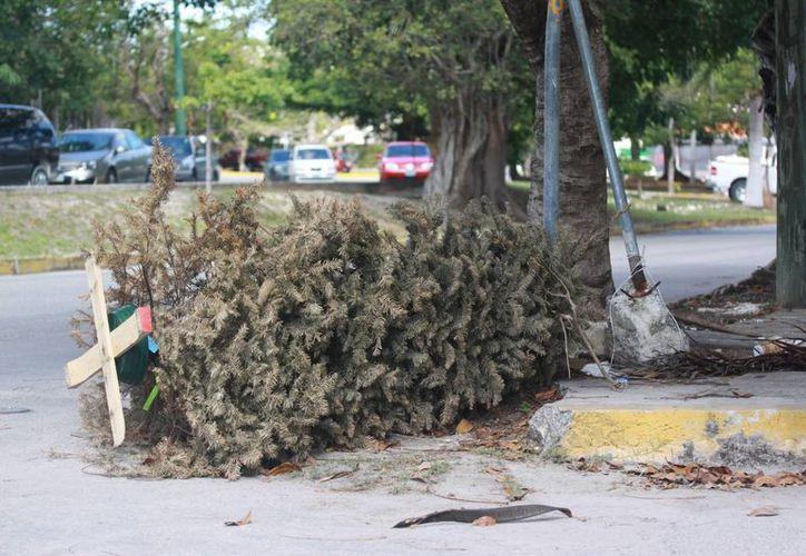 La Dirección de Ecología instaló 45 centros de acopio de árboles navideños. (Israel Leal/SIPSE)