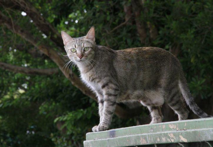 La presidenta de la Sociedad Protectora de Animales de Q. Roo acusa que los gatos es una de las especies desprotegidas. (Tomás Álvarez/SIPSE)