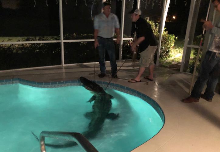 El reptil de tres metros ingresó a la casa y se tiró a la piscina. (Foto: Policía de Sarasota)