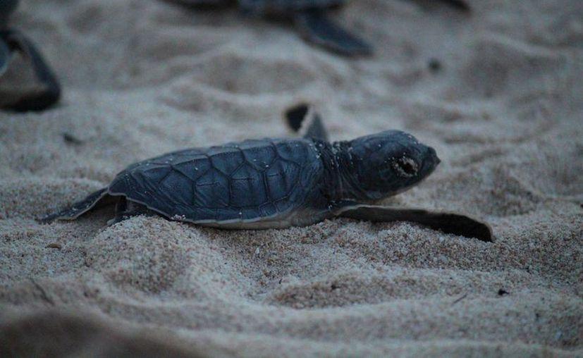 Entre las especies que llegan a las playas locales son: caguama, blanca y carey. (Octavio Martínez/ SIPSE)