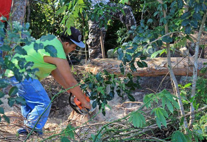 La madera está en el centro del valor, pero tiene productos secundarios. (Licety Díaz/ SIPSE)