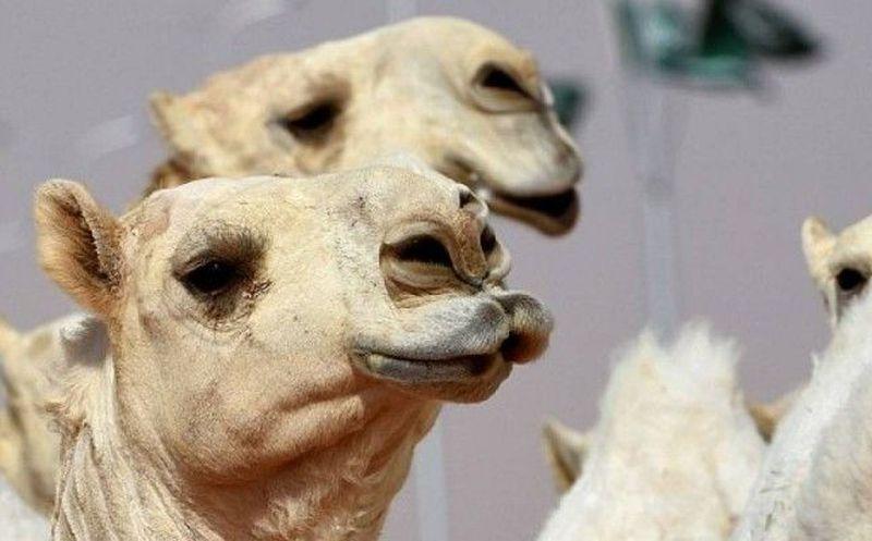 Descalifican a doce camellos de un concurso de belleza por usar bótox
