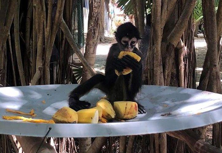 El mono araña es una especie endémica de la región que aún puede ser observado en libertad en varias partes de la ciudad. (Redacción)