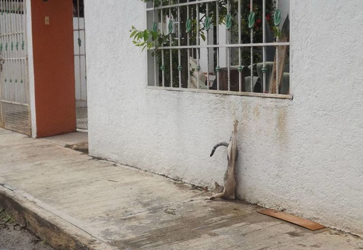 El gato torturado por un desquiciado vecino de Valladolid.(Milenio Novedades)