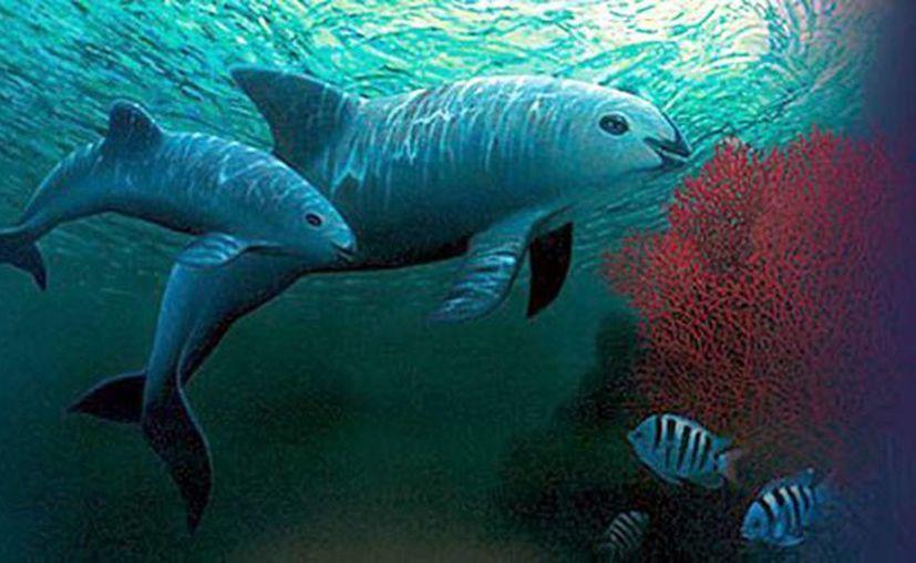 Imagen de dos ejemplares de vaquita marina (Phocoena Sinus) que nadan en aguas del Mar de Cortés, en BCS,  México. (EFE/Fondo Mundial de la Naturaleza)