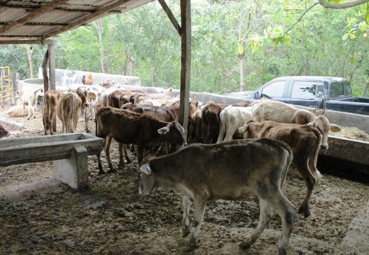 La Sagarpa combate la Rabia Paralítica Bovina en 44.8 millones de cabezas de ganado bovino en el país. (Foto de contexto/SIPSE)