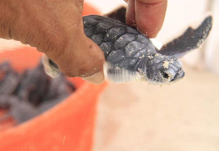 Las especies de tortugas que llegan a la entidad son caguama, blanca, carey y laúd. (Tomás Álvarez/SIPSE)