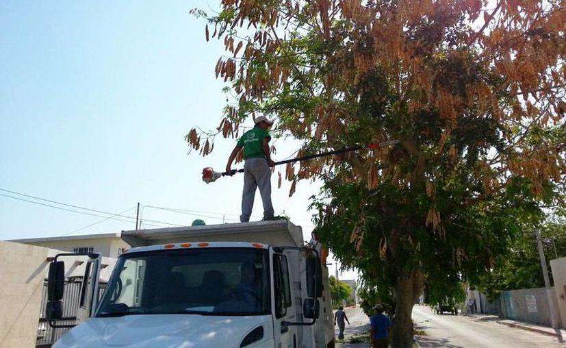 La poda de árboles forma parte de los preparativos para la temporada ciclónica 2013. (Manuel Pool/SIPSE)